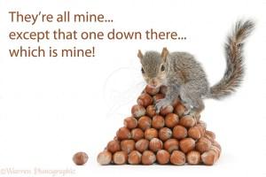 Young Grey Squirrel (Sciurus carolinensis) with pyramid of hazel nuts
