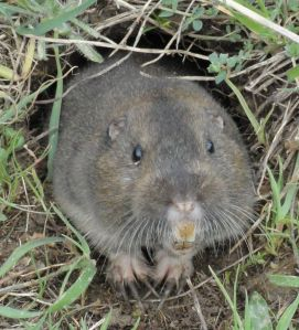 pocket-gopher_ano-nuevo-sp